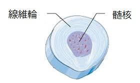 椎間板髄核、線維輪